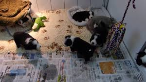 bearded collie adoption firstprizebears bearded collie puppies 4 weeks old youtube