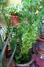 my plant finder plant guide euphorbia tithymaloides ssp