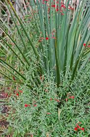 zauschneria with nolina nelsonii zauschneria i cut this plant