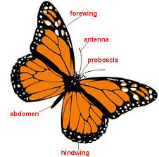 parts of butterflies and moths butterfly and moth image