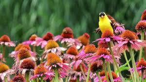 24 best native iowa plants images on pinterest native plants purple coneflower seeds echinacea purpurea american meadows