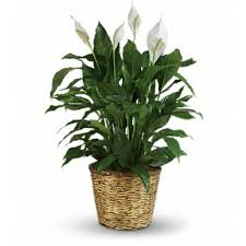 plants for funerals peace 10 inch pot owings maryland florist floral expressions