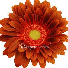Gerbera Daisies Bulk Flowers Fresh Brown Yellow Gerberas