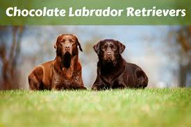 chocolate labrador retriever facts labrador training hq