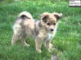 buy a australian shepherd pomeranian australian shepherd mix collection of pictures