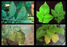 Symptoms Of Viral Diseases In Plants - virus problems of potatoes