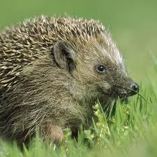 hedgehog national geographic