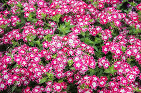 Vinca Flowers Vinca Flowers In The Garden Of Different Colors Stock Photo
