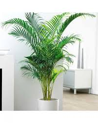 areca palm plant buy online plants plants for ac rooms edible