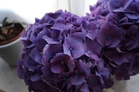 purple hydrangea hydrangea purple flower free photo on pixabay