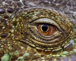 animal alligator eye close up face hd photo