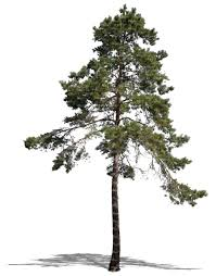 cut out pine tree cut out trees and plants vishopper