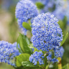 ceanothus bush information u2013 learn about growing ceanothus soapbush