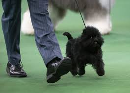 affenpinscher hawaii the most newsworthy dogs of 2013