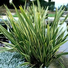 Family Garden Reading Pa Plantes De Grandes Dimensions Phormium Tenax U0027variegatum