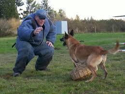 belgian shepherd washington state belgian malinois puppies