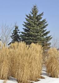 how to cut back ornamental grasses scenic green indianapolis