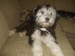 bichon frise dog pictures shelchon sheltie bichon frise mix info temperament puppies