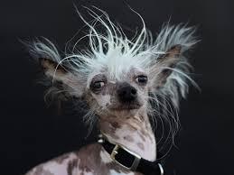 Ugliest Peanut World U0027s Ugliest Dog Contest 2015 Pictures Cbs News