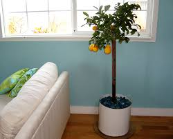 how to plant and keep an indoor lemon tree u2014 home hacks guest post