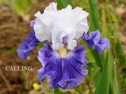 8 best flowers for the garden images on pinterest iris garden