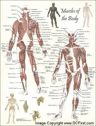 Full Body Muscle Anatomy Human Anatomy Charts Page 17 Of 351 Inner Body Anatomy Muscle