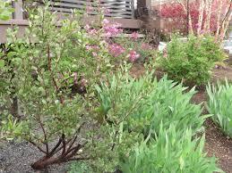 portland native plants chickadee gardens neighborhood gardens of portland part iv