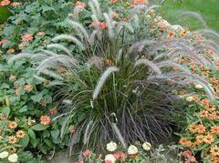 pennisetum setaceum rubrum plant finder container gardening