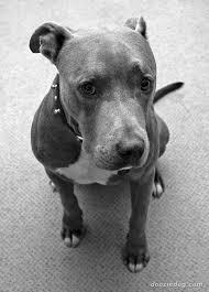 american pitbull terrier gray american pit bull terrier 3 jpg