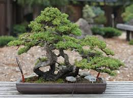 bonsai tree meaning things about trees