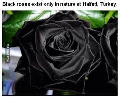 real black roses black