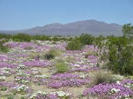 desert flowers southwestdesertlover