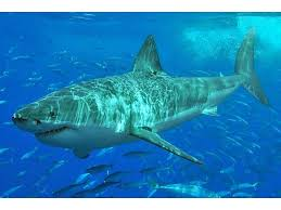 Great White Shark Attack Cape Cod - 16 foot great white shark spotted off cape cod barnstable ma patch