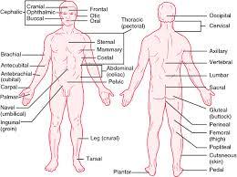 Human Anatomy Words Human Anatomy Anatomical Position Definition Of Anatomy Define