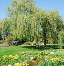 9 best weeping willow landscaping ideas images on