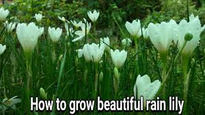 Rain Lily How To Grow Beautiful Rain Lily With Update Youtube
