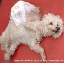 bichon frise years singapore real estate educational article keeping of pets