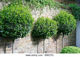 Laurel Topiary - bay laurel topiary trees in a purple lavender stone wall garden