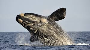groups of rare whales appear in cape cod massachusetts youtube