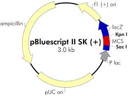 Sk Ii Ori pbluescript ii sk 载体质粒图谱 序列 价格 抗性 大小等基本信息
