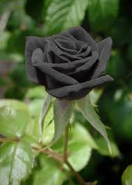 black roses for sale 20 black fresh seeds home garden plant black