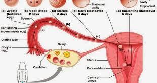 Light Bleeding Before Period Baby Or Boy To Love U003e U003e U003e Baby Gender Selection Implantation
