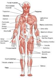 human body muscle structure muscle structure of the human body