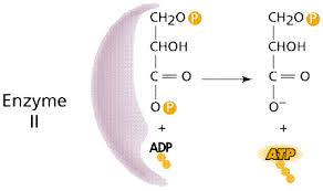 atp and biological energy