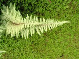 Free Picture Leaf Nature Fern Fern Leaf Nature Free Photo On Pixabay