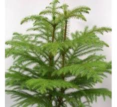 christmas trees buy christmas trees online at best price on