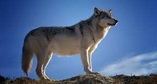 wolf spirit symbolism and meaning