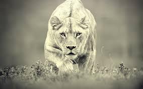 imagenes de leones salvajes gratis gatos animales escala de grises leones monocromo papel pintado