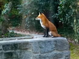 fantastic mr fox comes to parkwood parkwood garden club
