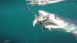 cape cod shark diving youtube